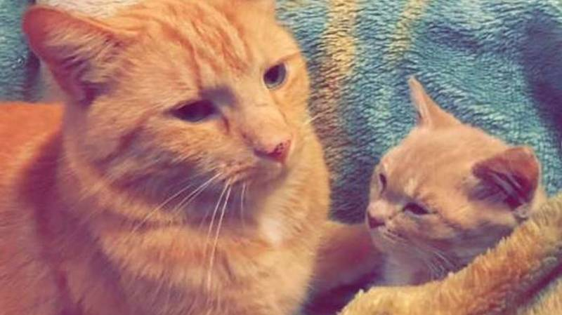Cat With 'Rare' Form Of Dwarfism Will Stay Kitten-Sized Forever