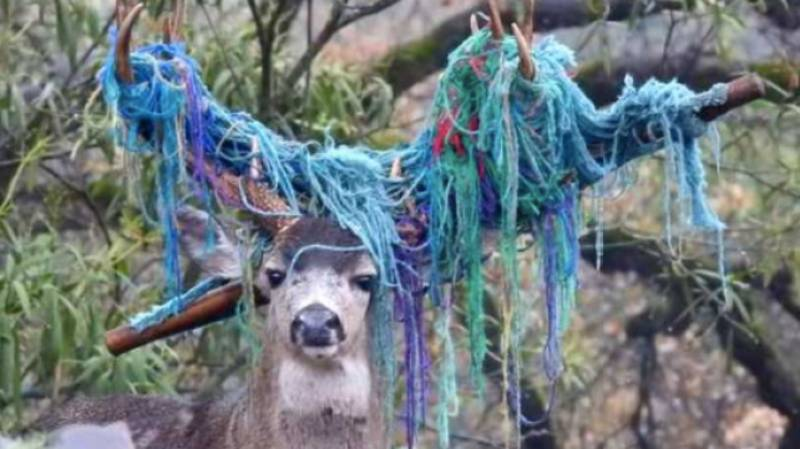Deer With Hammock Stuck On Antlers Rescued After Six Months