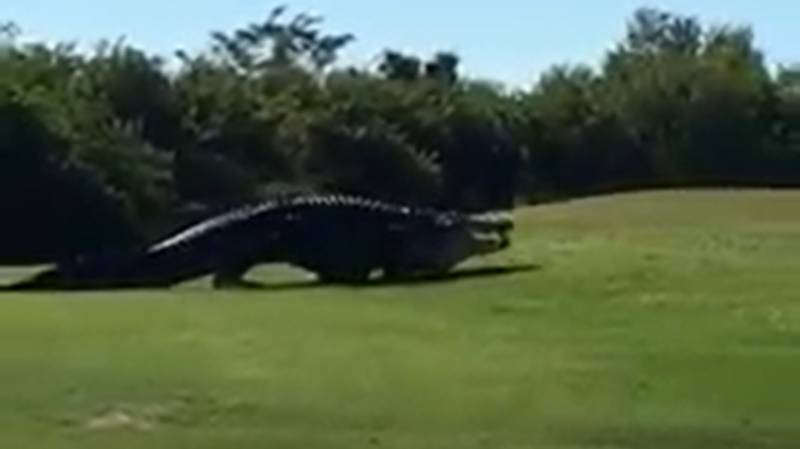 Chubbs The 16-Foot Alligator Spotted On Golf Course In New Video