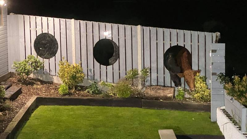 Cows Break Through Dad's Garden Fence Windows To Munch On His Plants