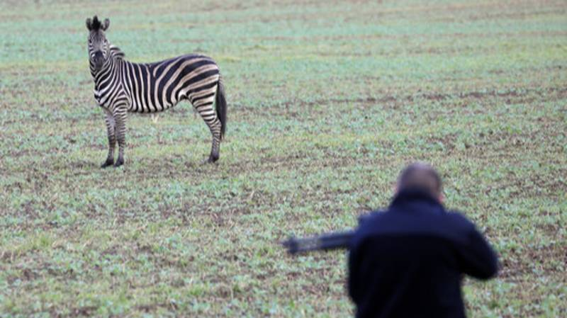 Zebra Shot Dead After Escaping From German Circus And Causing Car Crash