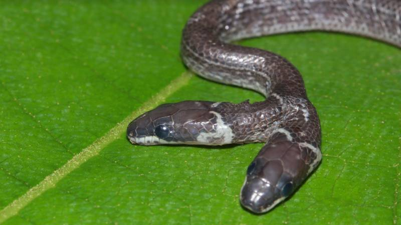 Rare Two-Headed Wolf Snake Discovered In Indian Forest