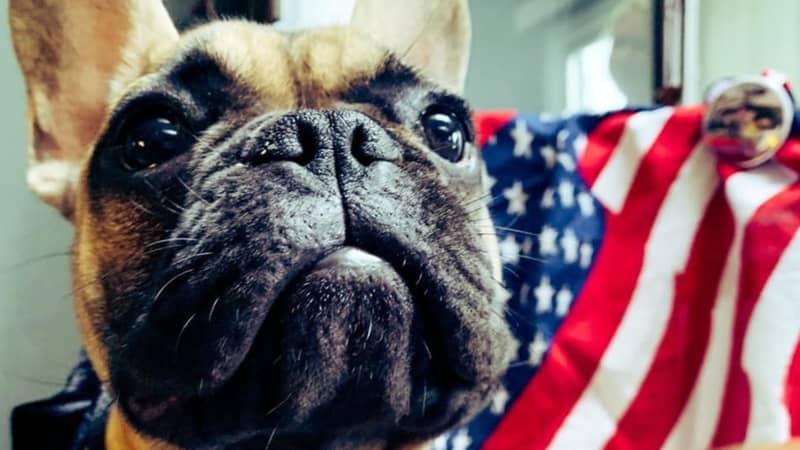 French Bulldog Named Wilbur Elected Mayor Of Kentucky Town