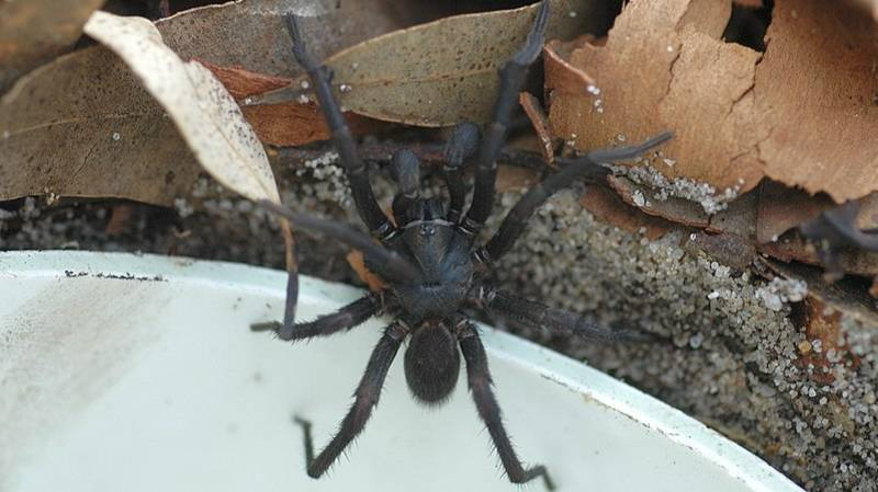 World's Deadliest Spider Could Be Creeping Into Aussie Homes This Christmas