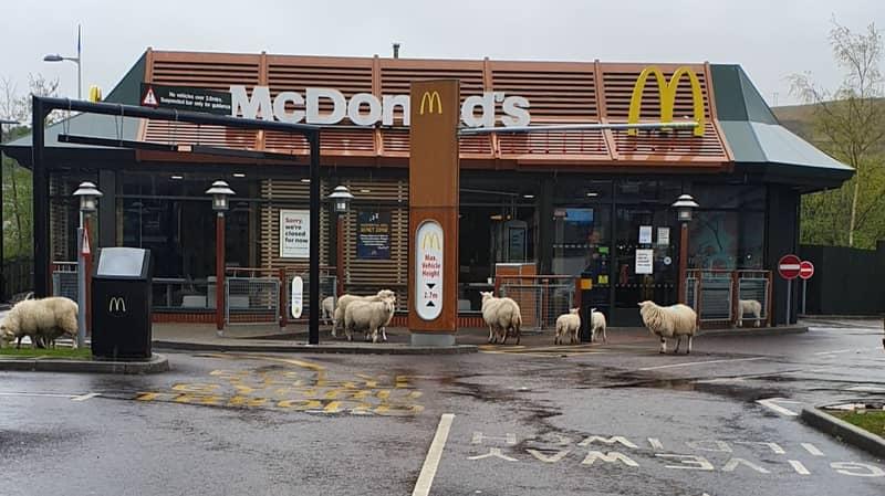 Flock Of Sheep Visit Closed McDonald's Restaurant During Coronavirus Lockdown