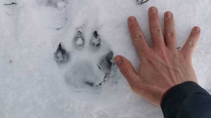 Concerns Mystery Big Cat Is Prowling UK After Huge Paw Prints Appear