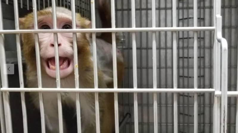 PETA Investigation Claims Lab Electroshocks Monkeys' Penises 'Until They Ejaculate'
