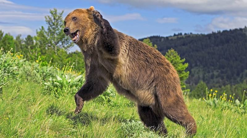 Three Injured In Two Grizzly Bear Attacks In Montana
