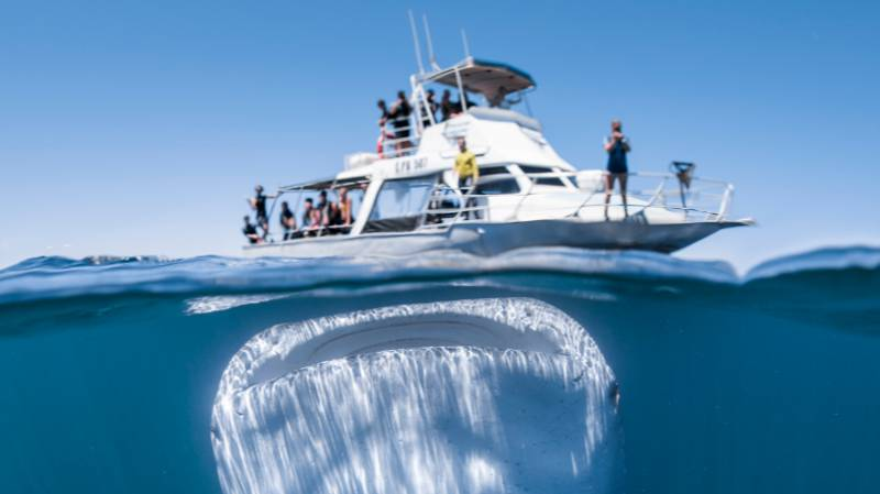 Huge Whale Shark Photographed Dwarfing Boat Full Of Unsuspecting Tourists