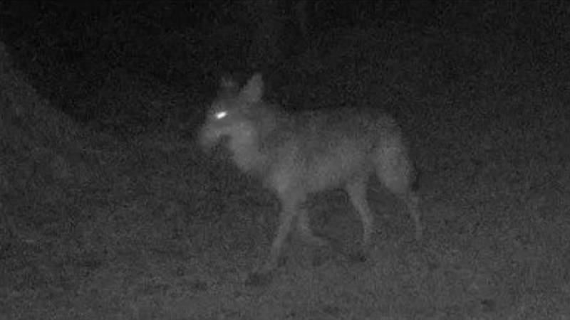 Animal Believed To Be A Wolf Spotted In Northern France For First Time In A Century