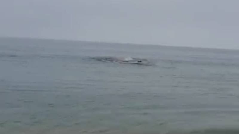 Sea Turns Red As Great White Shark Attacks Seal Metres From The Beach