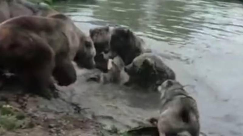 Group Of Bears Tear Wolf To Shreds At Dutch Zoo