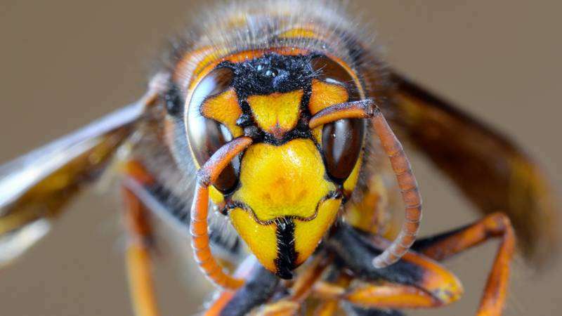 Steak And Ale Could Be Used To Stop Asian 'Murder' Hornets Invading British Isles