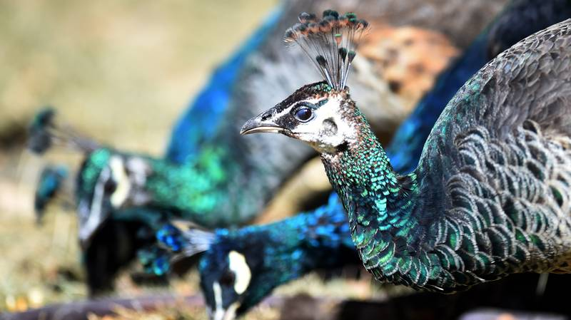 A Support Peacock Was Denied An Airline Seat And People Are Confused