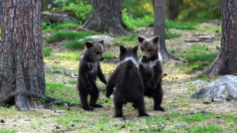 Amateur Photographer Captures Three Bear Cubs 'Dancing' In The Forest