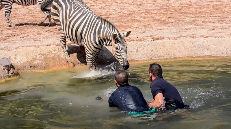 Heroic Zookeepers Rescue Baby Zebra From Drowning In Water Hole
