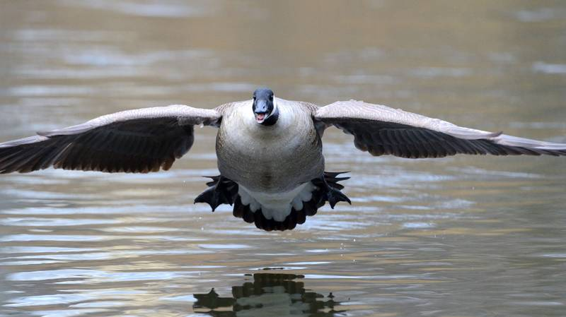 Hunter Knocked Unconscious By Goose Falling From Sky