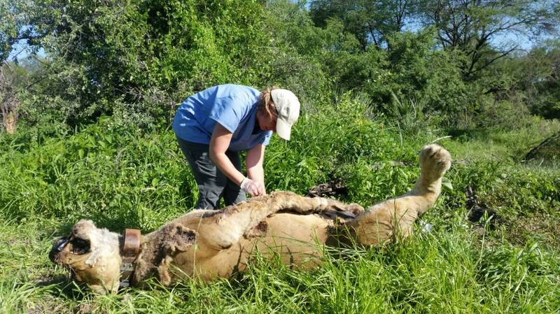 Six Lions Poisoned And Killed In A Tanzania National Park