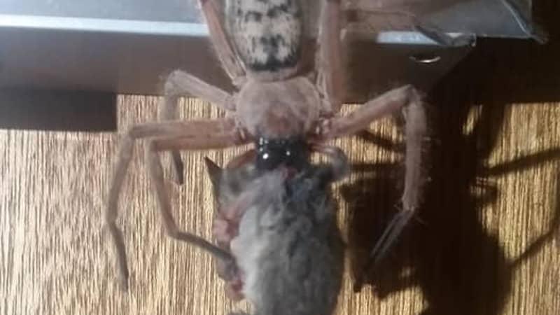 Aussie Couple Find Huntsman Spider Eating Pygmy Possum