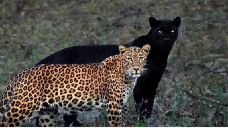 Incredible Photos Of Black Panther And Leopard Couple Go Viral