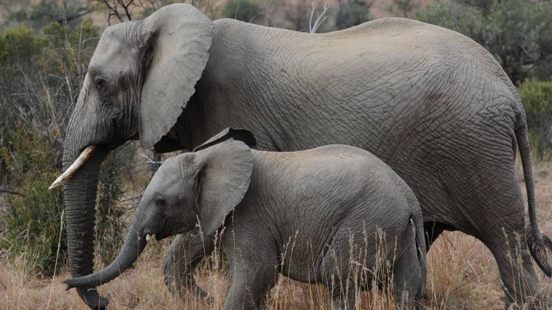 Trump Lifts Ban On Importing Body Parts Of Elephants Killed By Trophy Hunters