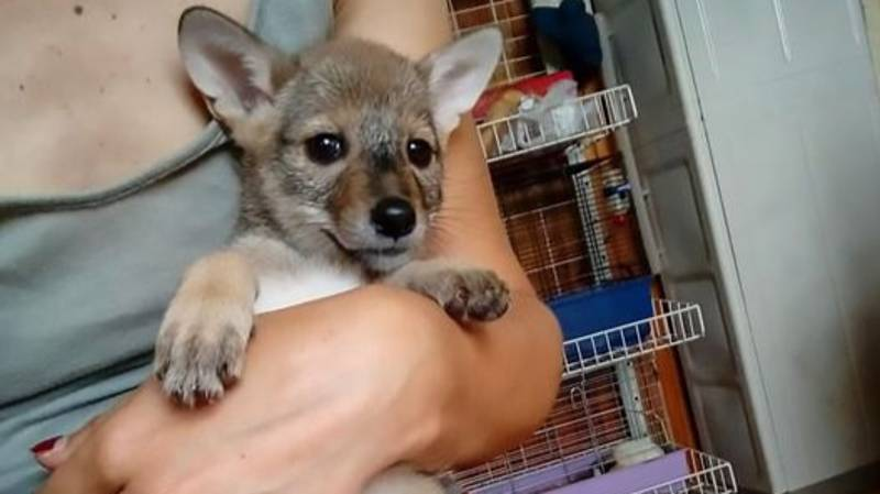 Puppies Dumped In Box Turned Out To Be Wild Baby Jackals
