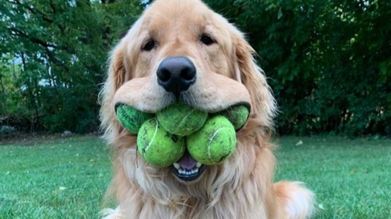 Golden Retriever Becomes Official World Record Holder For Most Mouth-Held Tennis Balls