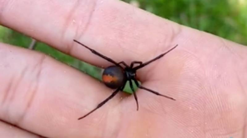 TikTok User Casually Allows 'Redback Spider' To Crawl Up His Arm