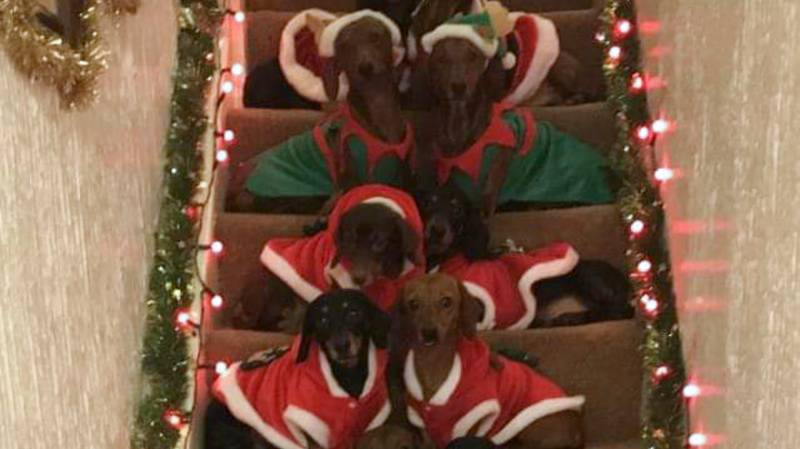 Proud Owner Gathers His 17 Sausage Dogs For Ultimate Christmas Photo