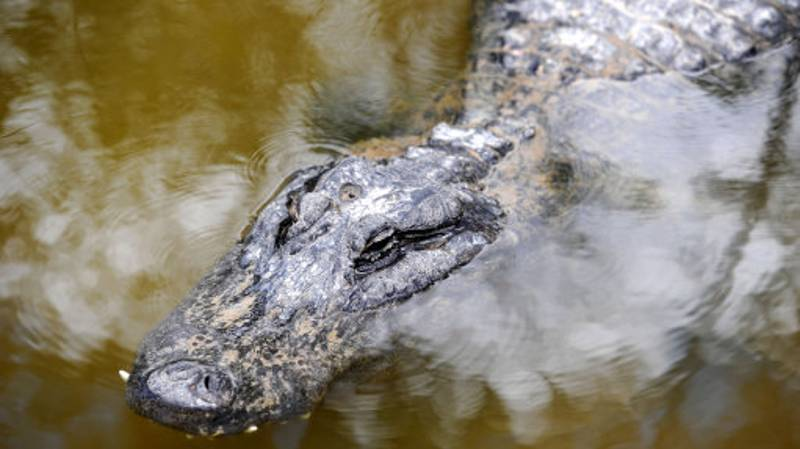 An Alligator, A Burmese Python And Fiddler's Creek Golf Course