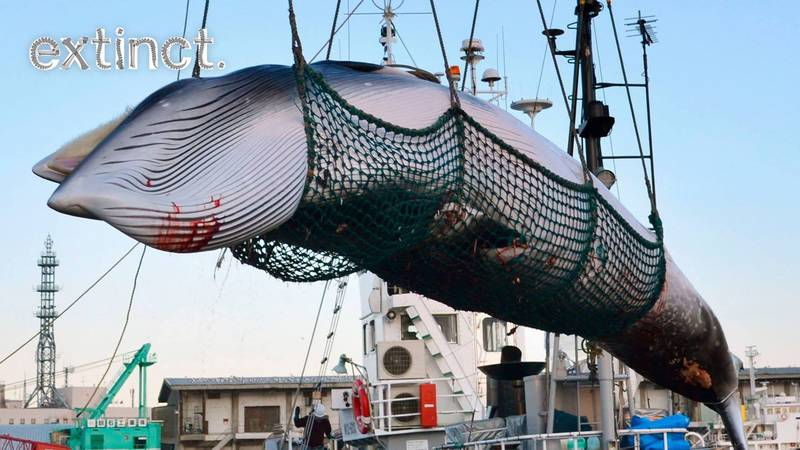 Japan Set To Start Commercial Whale Hunting Again In 2019 After 30 Years
