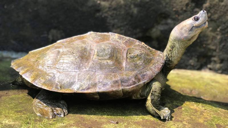 Rare Turtle Known For Permanent Smile Has Been Brought Back From Extinction