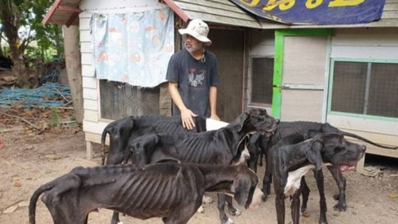 Emaciated Great Danes Who Were Abandoned By Their Owner Have Been Rescued