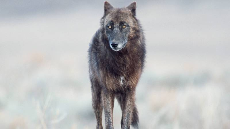 Footage Shows Massive 'Wolf-Like' Creature Attacking Dog In North American Forest