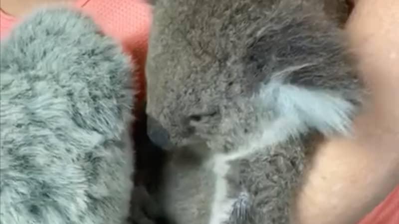 Koala Who Lost Mum In Bushfire Hugs Toy That Looks Just Like Her