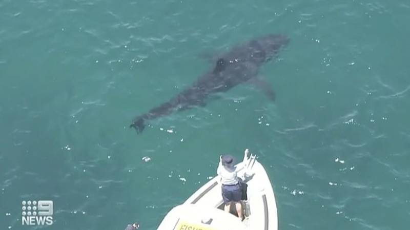 Huge Great White Shark Spotted Chasing Tiger Shark Off Coast Of Perth