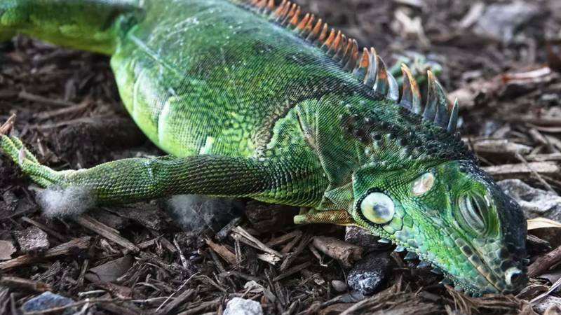 Iguanas Are Falling Out Of Trees In Florida As Temperatures Plummet