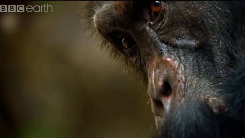 David The Chimpanzee From 'Dynasties' Has Been Found Dead