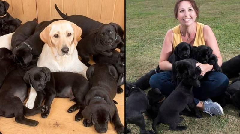 Golden Labrador Gives Birth To 13 Black-Coated Puppies