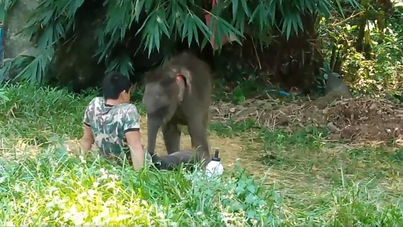Video Shows An Abandoned Baby Elephant Napping On Her Human Carer