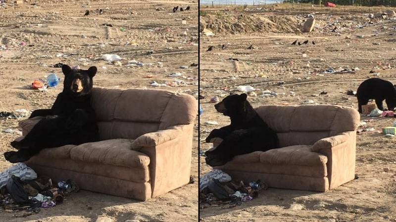 Bear Snapped Kicking Fat Chills On A Sofa At A Garbage Dump