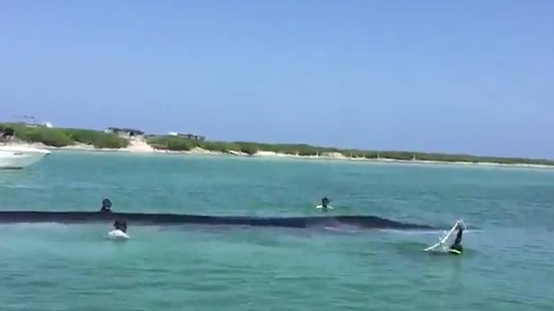 Rescue Attempt Of Huge Whale Stranded On Caribbean Beach Captured On Film