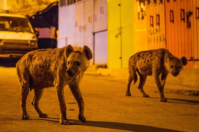 'Planet Earth II' Film Crew Describe Being Involved In A Mass Hyena Fight