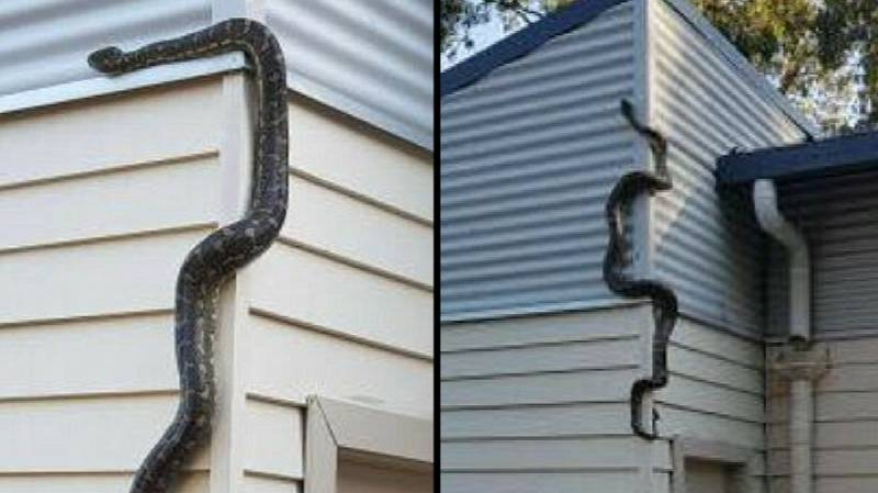 Australian Homeowner Shocked As Massive Snake Tries To Get Into His House
