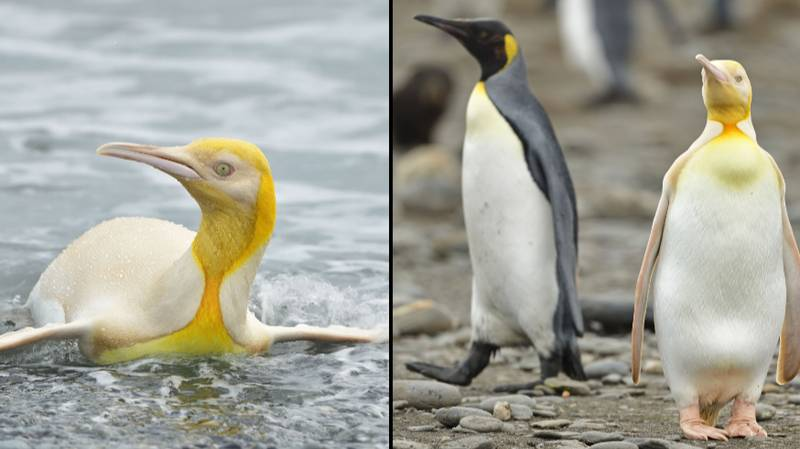 'First Ever' Yellow Penguin Spotted By Photographer