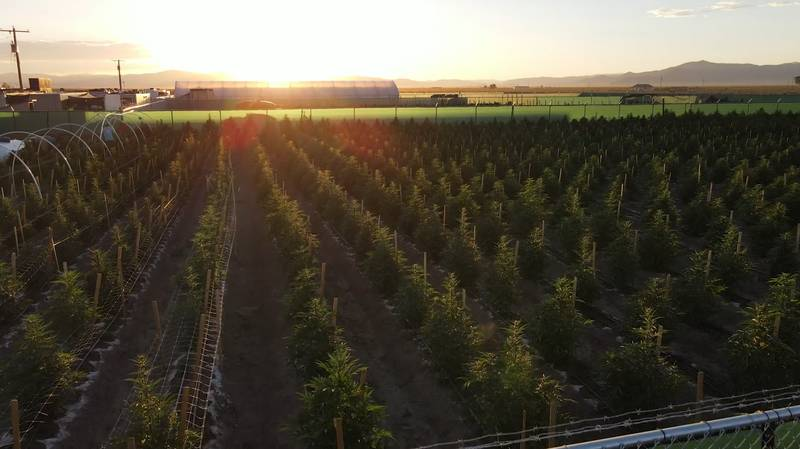 Man Who Served Eight Years For Cannabis Crime Now Part-Owns 'World's Largest Commercial Farm'