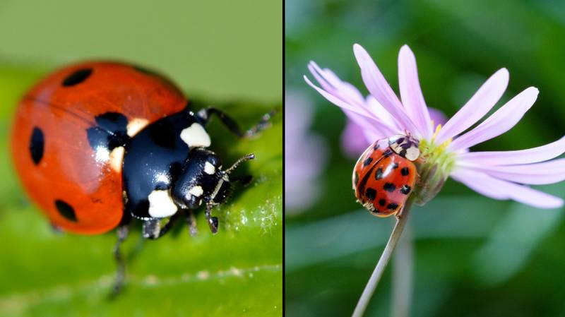 Swarms Of STD-Riddled Ladybirds Are Invading The UK