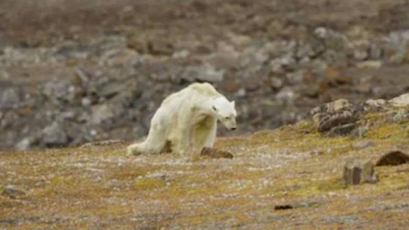 Video Of Polar Bear Starving To Death Illustrates How Climate Change Is Affecting Wildlife