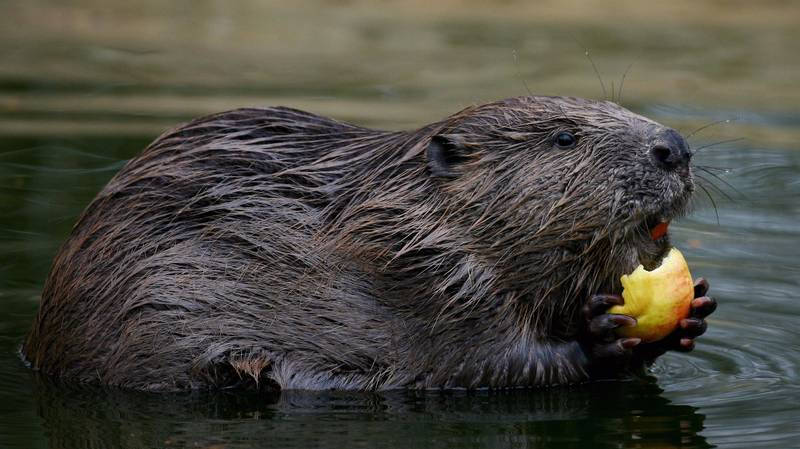 Try Not To Be Sick But Beaver Parts Are In Your Favourite Foods