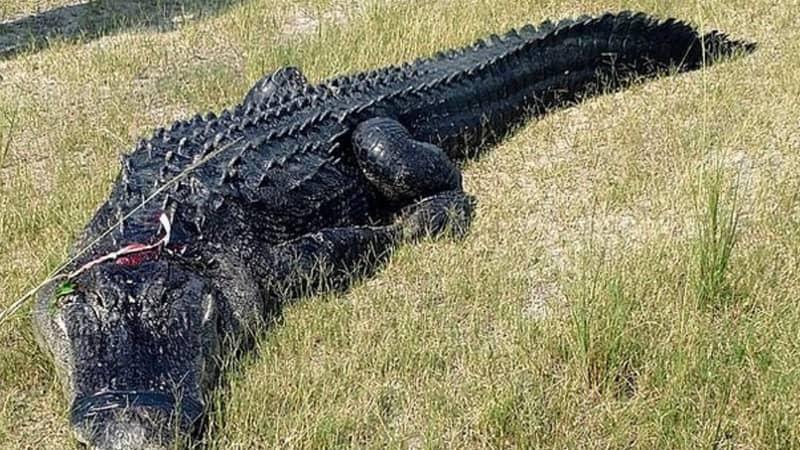 Florida Man's Partially Eaten Body Found In Alligator's Stomach
